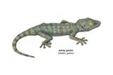 Tokay Gecko (Gekko Gecko) Kunstdrucke