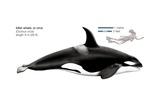 Killer Whale (Orcinus Orca) Print