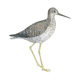 Greater Yellowlegs Pósters