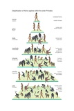 Classification Tree of the Species Homo Sapiens (Modern Humans) Within the Order Primates Posters