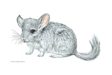 Chinchilla Posters