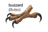 Foot of Common Buzzard (Buteo Buteo) Prints