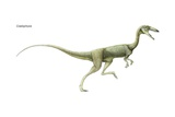 Coelophysis, a Late Triassic Dinosaur. a Predator Living in Large Herds Posters