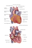 Diagram Showing the Exterior and a Cross-Section of the Human Heart Posters