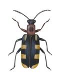 Asparagus Beetle Prints