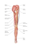 The Posterior View of the Human Right Leg, Showing the Sciatic Nerve and its Branches Prints