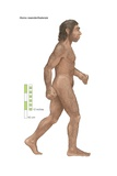 Homo Neanderthalensis, Who Ranged from Western Europe to Central Asia for 100,000 Years Prints
