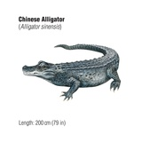 Chinese Alligator (Alligator Sinensis), an Endangered Species Prints