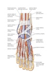 Dorsal View of the Right Foot, Showing the Major Muscles, Tendons, and Nerves Poster