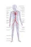 Silhouette of the Human Body Showing the Location and Extent of the Heart and Vascular Art