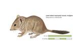 Mulgara or Crest-Tailed Marsupial Mouse (Dasycercus Cristicauda) Posters
