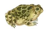 Great Plains Toad Print