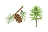 Virginia Pine Tree Poster