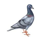 European Rock Dove Poster