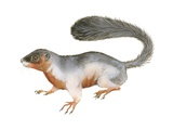 Prevost's Squirrel Posters