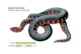 Eastern Mud Snake (Farancia Abacura Abacura) Prints