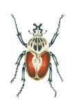 African Goliath Beetle Prints