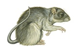 Common Domestic Rat Posters