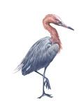Reddish Egret Prints
