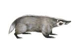 American Badger Posters