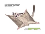 Short-Headed, or Sugar, Glider (Petaurus Breviceps) Posters