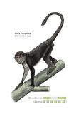 Sooty Mangabey Monkey (Cercocebus Atys) Art
