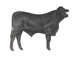 Brangus Bull Prints