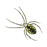 Golden Garden Spider Prints