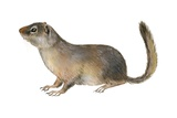 Ground Squirrel Posters