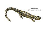 Tiger Salamander (Ambystoma Tigrinum) Prints