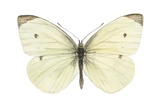 Cabbage Butterfly (Pieris Rapae) Plakater