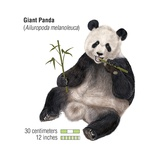 Giant Panda (Ailuropoda Melanoleuca) Posters