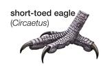 Foot of Short-Toed Snake Eagle (Circaetus Gallicus) Art