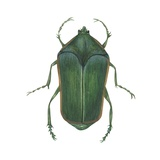 Green June Beetle Posters