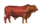 Santa Gertrudis Bull Prints