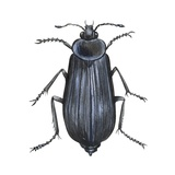 Carrion Beetle Prints