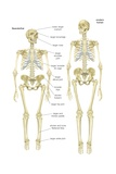 Skeleton of a Neanderthal (Homo Neanderthalensis) Compared with Skeleton of Modern Human Art
