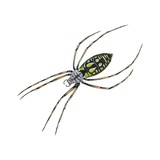 Black-And-Yellow Argiope Prints