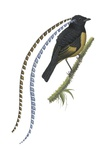 King of Saxony's Bird-Of-Paradise Print