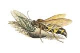 Cicada Killer Wasp Print