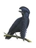 Long-Wattled Umbrellabird Poster