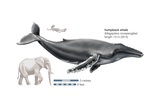 Humpback Whale (Megaptera Novaeangliae) Posters