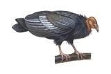 Condor de Californie Affiches