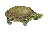 Common Map Turtle Poster