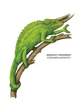 Jackson's Chameleon (Chamaeleo Jacksonii) Kunstdruck