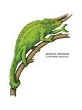 Jackson's Chameleon (Chamaeleo Jacksonii) Poster