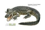 American Alligator (Alligator Mississippiensis) Print