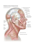 Diagram of the Cutaneous Nerves of the Head and Neck Print