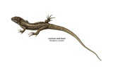 Common Wall Lizard (Podarcis Muralis) Prints