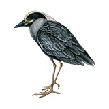 Yellow-Crowned Heron Posters